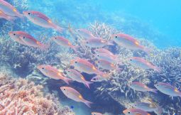 「【小浜島】シュノーケリングor体験ダイビング&島内散策」のサムネイル画像